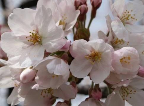 Расцвела под окошком белоснежная вишня…