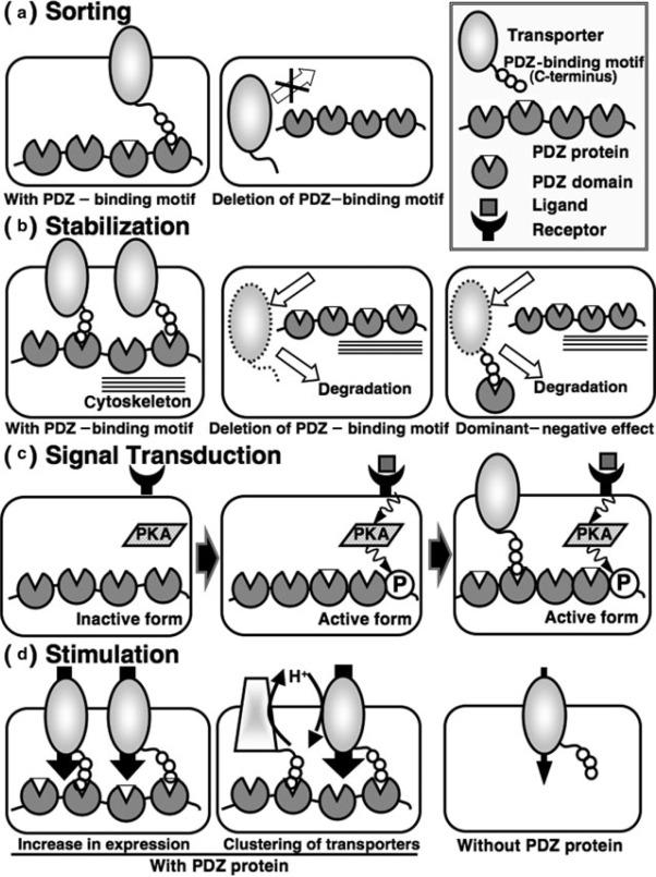 Pdz Adaptors: Their Regulation of Epithelial Transporters
