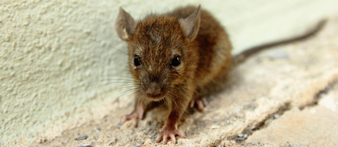 Three Diseases Mice Can Carry into Your Home | JP Pest Services