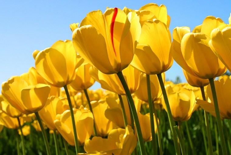 Los tontos del tulipán