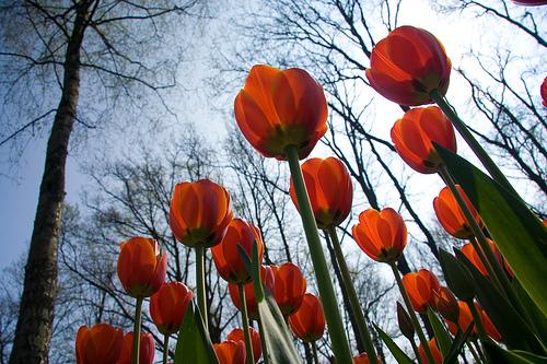 Vivir con tulipanes