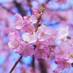 2021 Japan Cherry Blossom Forecast Jrailpass