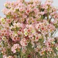 Pink Wax Flower Wholesale Wedding Flowers - J R Roses ...