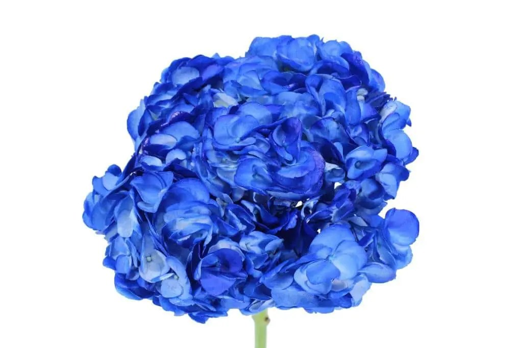 hydrangea tinted blue wholesale