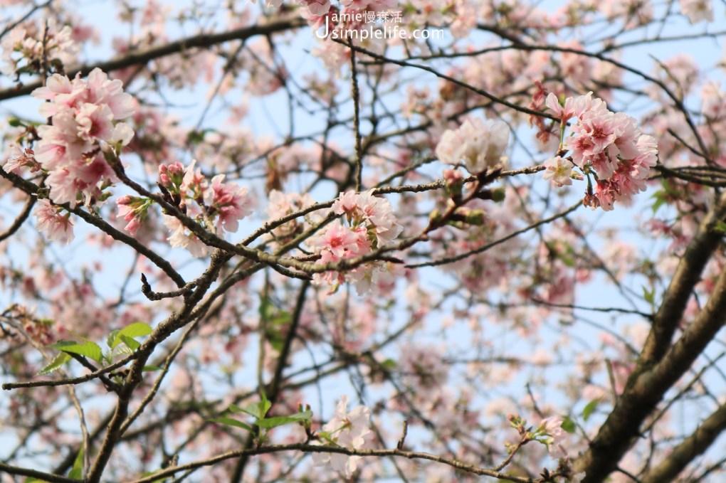 2021初春浪漫花季!朝聖雙北7個夢幻賞花景點 陽明山櫻花季