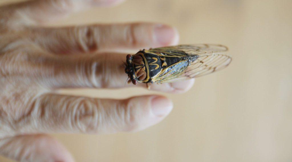 No Jew should be eating cicadas!