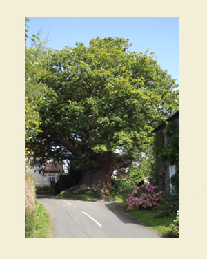 Great Oak Tree, Eardisley Front - Ref L10