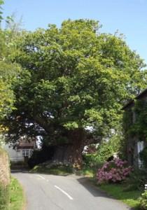 Great Oak Tree Postcard