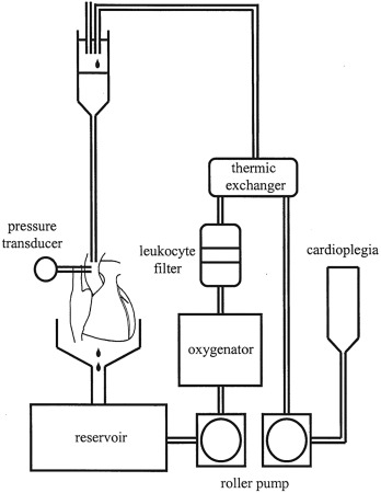 Functional evaluation of human donation after cardiac