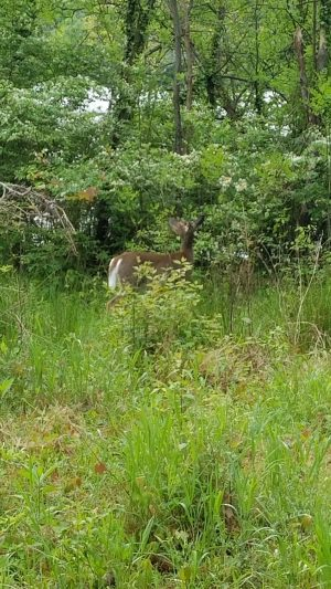 Deer on the Capital Crescent - 04232017