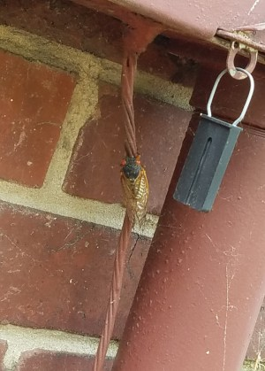 Cicada - 05202017