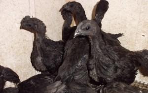 Ayam Cemani 2 bulan