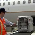 Cara Pengambilan Ayam Hias dengan Pengiriman Via Pesawat Kargo Hewan