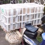 Cara Pengambilan Ayam Hias dengan Model Pengiriman Via Jalur Darat
