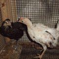 Ayam ketawa 1 bulan