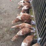 Ayam Kalkun Jenis Bourbon Red Pesanan  Mas Rio di Cilacap