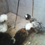 Ayam Polan Umur 1,5 bulan untuk Pak Tono di Bekasi
