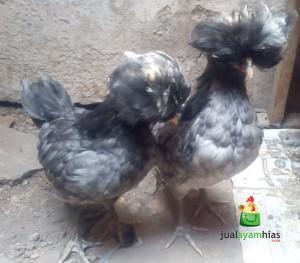 Ayam Polan Warna Abu-Abu Sepasang