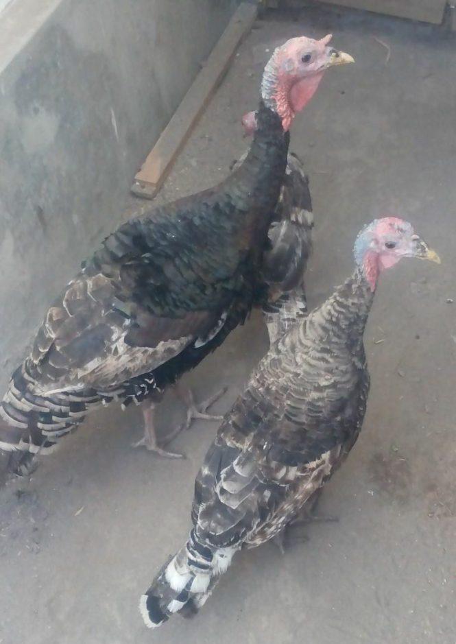 Ayam Kalkun Bronze siap kirim Bekasi Selatan
