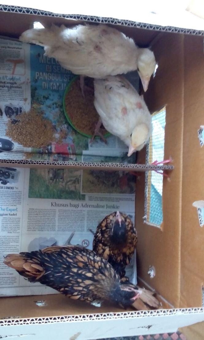 Ayam Kalkun Royal Palm - Anakan dan Ayam Batik Kanada Coklat Gold - Anakan