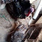 Indukan Kalkun Bronze dan Ayam Kapas Pesanan Pelanggan Setia Kami Pak Hasan dan Pak Dekiu di Kota Baru Jambi
