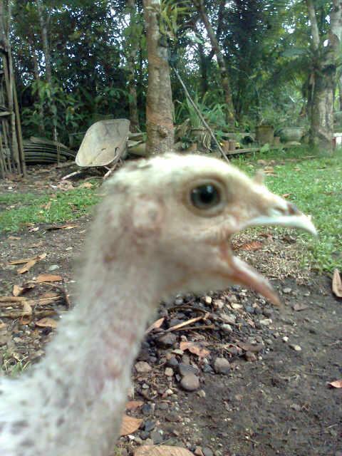 Anakan Ayam Kalkun dengan Jenis Kelamin Betina