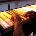 Ayam Mutiara Mulai Bertelur di Awal Oktober 2014 Ini