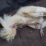 Mengetahui Ciri-Ciri Penyakit Pada Ayam Serta Cara Mudah Mengobati Penyakit Tersebut
