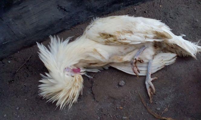 Ayam Polan Mati