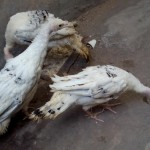 Ayam Kalkun Royal Palm Usia 3 Bulan dan Ayam Kapas Usia 2 Bulan Pesanan Bapak Yudana