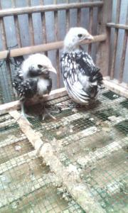 Ayam Batik Itali Umur Sebulan Pesanan Bapak Andi di Astanajapura Cirebon Jawa Barat