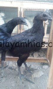 Ayam Cemani Umur 5 Bulan