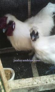 Ayam Kapas Umur 6 Bulan