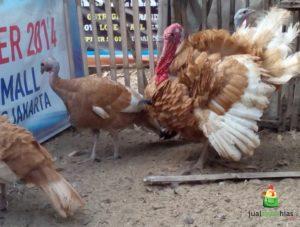 Ayam Kalkun Bourbon Red Dewasa