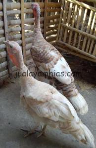 Ayam Kalkun Self Buff Turkey