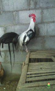 kandang ayam onagadori