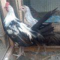 Ayam Phoenix sepasang Umur 5 bulan