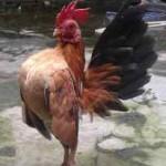 4 Hal Yang Perlu Diperhatikan Saat Merawat Anakan Ayam Serama
