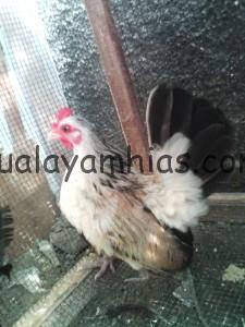 Ayam Serama Betina Indukan