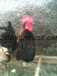 Ayam Serama Jantan Indukan