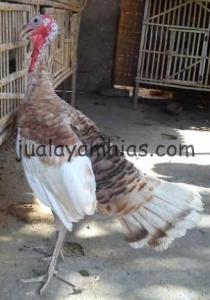 Foto Ayam Kalkun Self Buff Turkey