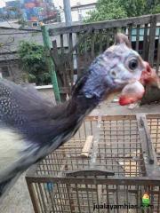 Cara Menangkap Ayam Mutiara yang Lepas dari Kandang