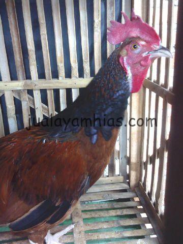 Ayam Bekisar Dewasa Persiapan ke Palembang
