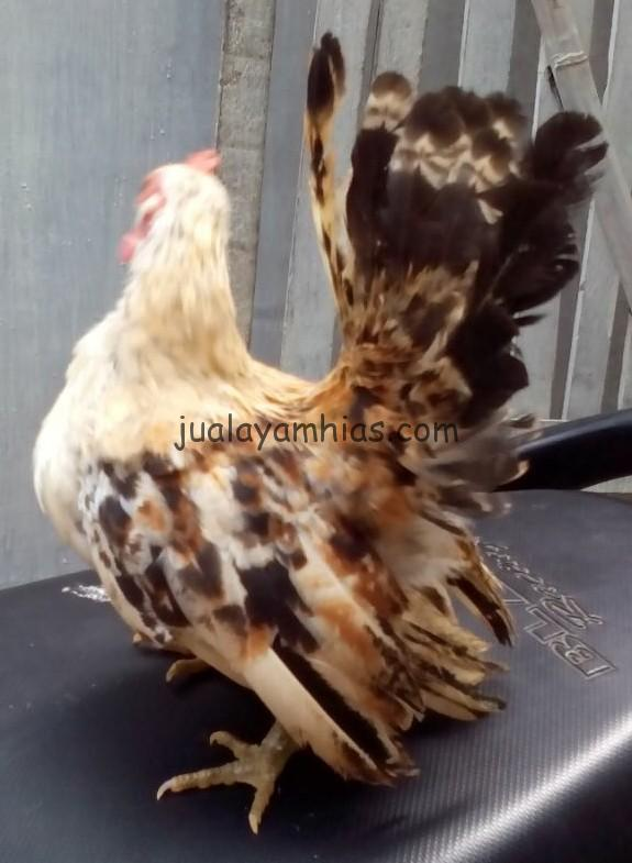 Ayam Serama Jantan Umur 4 Bulan