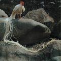 Ayam Onagadori Ekor Panjang