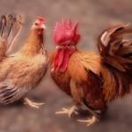 Mengenal Perbedaan Ayam Kate dan Ayam Serama