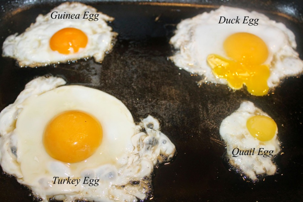 Telur Ayam kalkun goreng