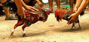 Ayam Bangkok Siap Bertarung