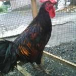 Cara Mudah untuk Mentukan Pakan Ayam Ketawa