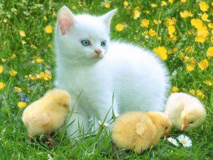 Kucing dan ayam